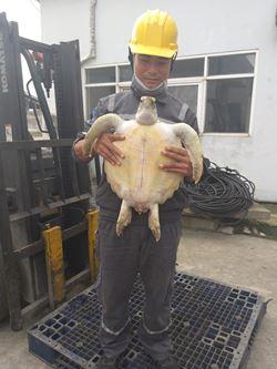 Hà Tĩnh: Nhóm công nhân thả đồi mồi quý hiếm về biển